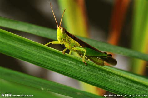 蝗虫摄影图昆虫生物世界摄影图库昵图网