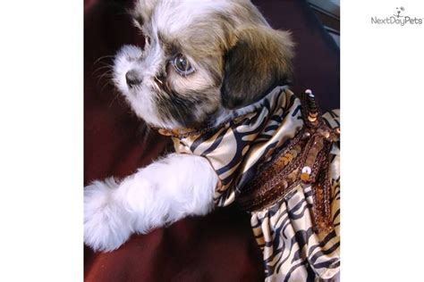 Tiny Non Shedding Breeds by Teacup Non Shedding Breeds Breeds Picture