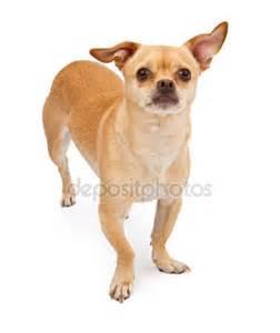 Pug Chihuahua Mix Dogs