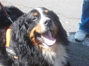 Berner Sennenhund Gewicht : meine lieblingshundeart sennenhunde e correct ~ Markanthonyermac.com Haus und Dekorationen