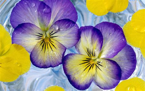 purple and yellow pictures of purple and yellow roses www imgkid com the image kid has it