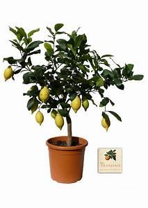 Dünger Für Zitronenbaum : pflege von zitronenbaum gr ser im k bel berwintern ~ Watch28wear.com Haus und Dekorationen