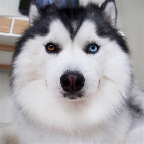 meet maru  happiest husky   world