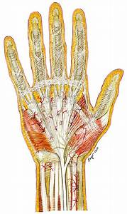 1 Palmar Surface Of The Hand Showing The Palmar