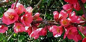 Arbuste Plein Soleil Longue Floraison : 5 arbustes floraison hivernale choisir en priorit ~ Premium-room.com Idées de Décoration