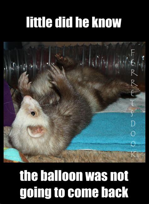 Ferret Meme - funny ferret quotes quotesgram