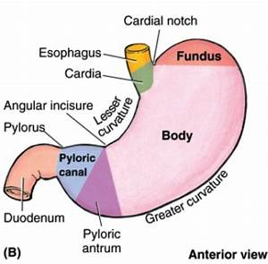 External Structure Of Stomach