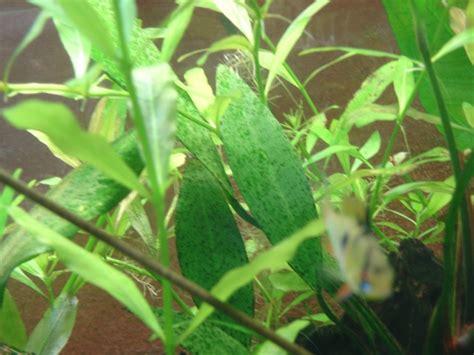 algues point vert sur plante