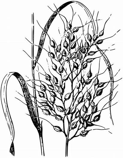 Rice Drawing Clipart Wheat Plant Wild Sketch