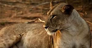Borne Free Lyon : elsa 39 s legacy the born free story lion facts nature pbs ~ Medecine-chirurgie-esthetiques.com Avis de Voitures