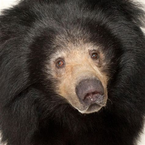 sloth bear national geographic