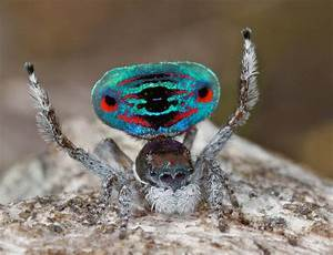 Australia's peacock spiders: So cute, even arachnophobes ...