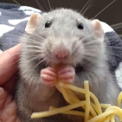ratte isst nudeln