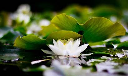Lotus Loto Wallpapers Flowers Desktop Fior Backgrounds