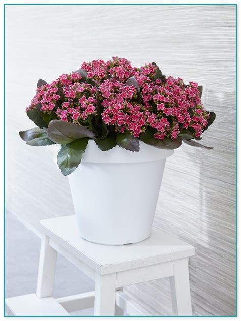 lotus flower plants for sale
