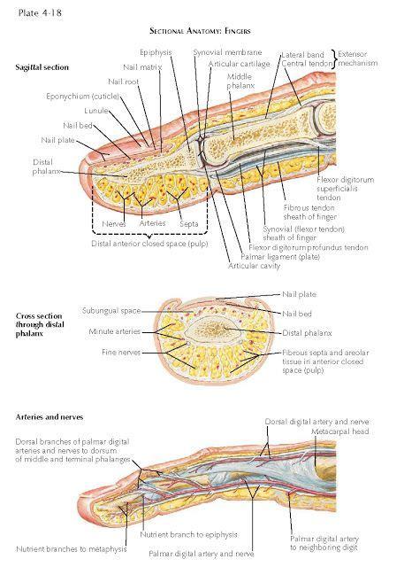 DIGITAL NERVES