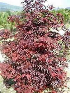 Roter Japanischer Ahorn : acer palmatum 39 fireglow 39 roter f cherahorn japanischer ahorn g nstig kaufen ~ Frokenaadalensverden.com Haus und Dekorationen