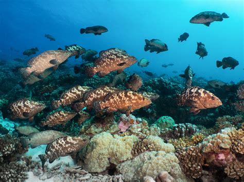 groupers polynesia french fakarava galore june await expectant adjacent spawn signal mass moon