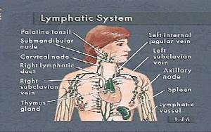 Anatomy Of The Lymphatic System  Lymphedema People