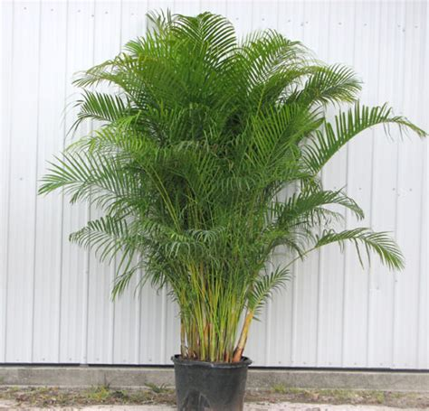 areca palm benefit of plants benefits of planting trees