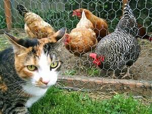 Comment Elever Des Poules : elever des poules dans son jardin ~ Melissatoandfro.com Idées de Décoration