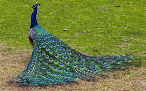 colorful peacock peacock wallpapers free colorful birds hd
