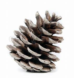 Pinecone on a white background, natural light Stock