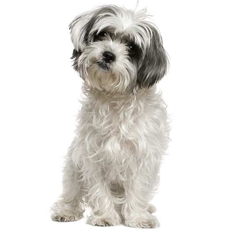 maltese shih tzu dog breed information temperament health