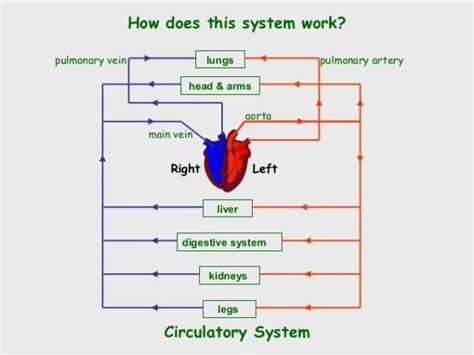 Essay On Pulmonary Circulation by Cardiac Cycle And The Circulatory System