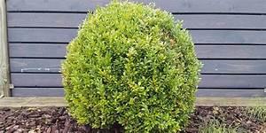 Buchsbaum Befall Raupen : problempflanze bye bye buchsbaum ~ Watch28wear.com Haus und Dekorationen