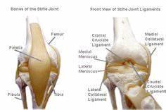 Cranial Cruciate Ligament Diagram : figure 1 illustration of the anatomy of the dog s knee ~ A.2002-acura-tl-radio.info Haus und Dekorationen