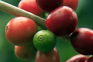 What Is Cascara Coffee Cherry  A Starbucks Latte Gimmick