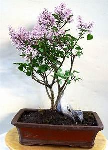 Bonsai Baum Schneiden : flieder carmens bonsai garten online shop f r bonsai pflanzen b ume bonsai d nger schalen ~ Frokenaadalensverden.com Haus und Dekorationen