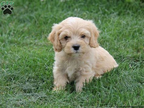49 best images about cava poo zoo on poodles i want and cavapoo puppies
