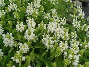 Acheter Des Plantes : prunella grandiflora 39 alba 39 plantes vivaces acheter des plantes en ligne ~ Melissatoandfro.com Idées de Décoration