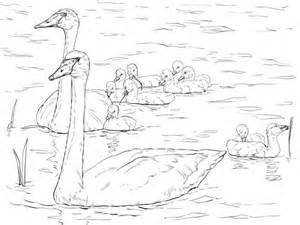 trumpeter swans family coloring page super coloring