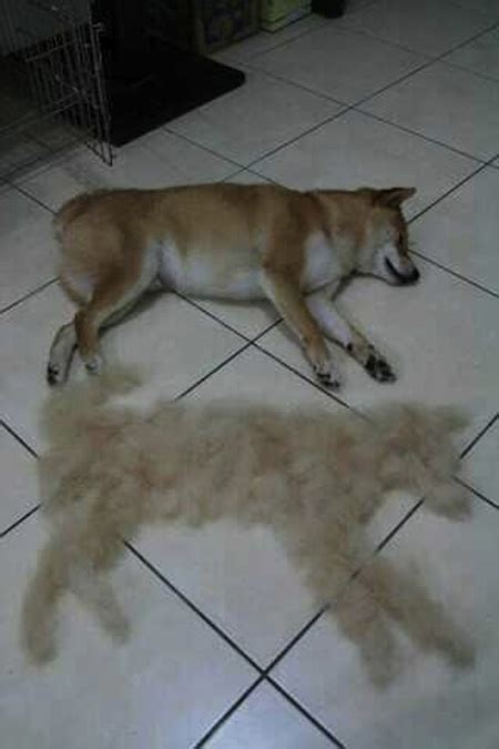 shiba shed tis the season to be shedding one owner s picture
