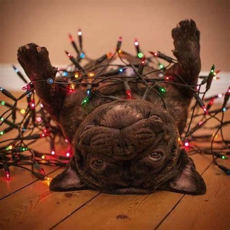 french bulldog  christmas lights cute pets christmas
