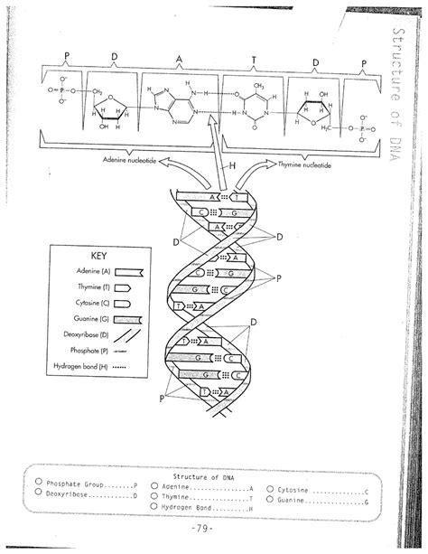 16 Best Images Of Dna Replication Worksheet  Dna Replication Coloring Worksheet, Dna