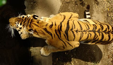 tiger stripes wallpapers hd desktop  mobile backgrounds