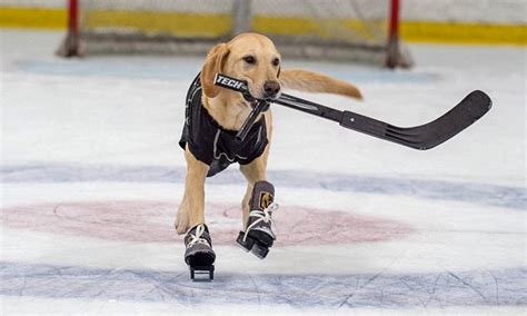 golden labrador worlds ice skating dog las vegas daily