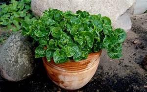 Japanischer Spinat Pflanze : brasilianischer spinat pflanze alternanthera sissoo blattgem se essbare pflanzen nach ~ Frokenaadalensverden.com Haus und Dekorationen