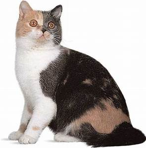 domestic cat: domestic shorthair -- Kids Encyclopedia ...