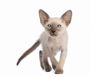 Colorpoint Shorthair Cat Breed Information