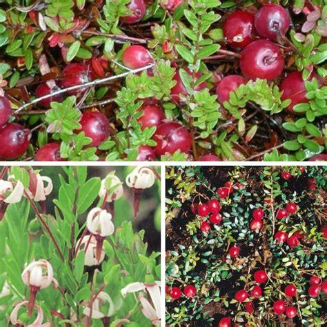 Cranberry  Beerenobst  Grüner Garten Shop