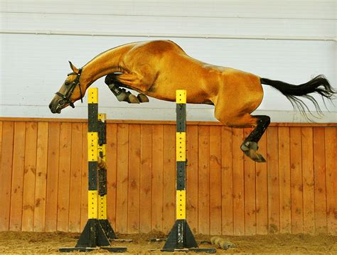 jumping horse teke horses akhal breeds breed stallion most ten rarest amazing stallions golden wikipedia wikimedia rare gold buckskin silver
