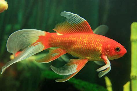 wie groß werden goldfische goldfische aquariumlog by kamillo koi und aquaristik
