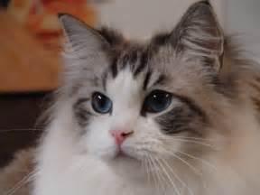 ragdoll cats for ragdoll cats