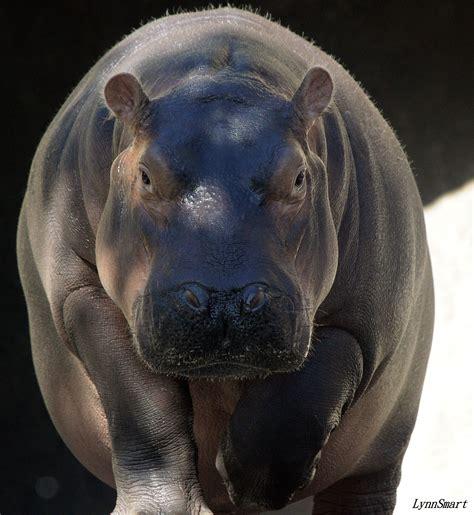 hippopotamus hippo front hippos open wide mouths three zoo fiona cincinnati wider times than cincinnatizoo