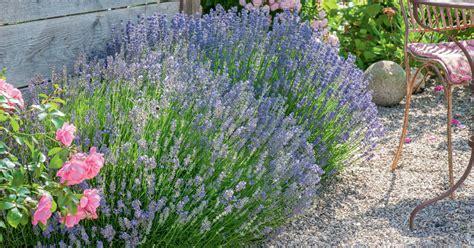 Lavendel Und Gräser by Ideen Mit Lavendel Mein Sch 246 Ner Garten